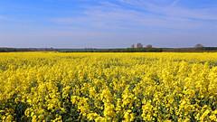 Rapeseed Field (Richard Brothwell) Tags: field lincolnshire rapeseed canonefs1022mmf3545usm efs1022mmf3545usm rapeseedoil canoneos70d richardbrothwell