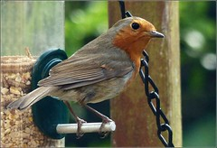 Robin at the feeder... (Sandi (VERY busy lady)) Tags: shootaboot picmonkey