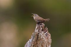 Wren singing (Dave_Hawk) Tags: singing none wren richmondpark