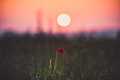 137/366 (romainjacques17) Tags: sunset sun france flower canon bokeh streetphotography 365 larochelle 135mm 6d picoftheday project365 ef135mm 365project