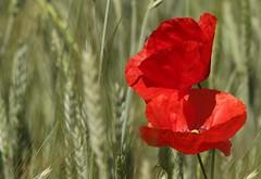papaveri (66Colpi) Tags: ombre luci rosso brezza vento campodigrano papavari