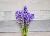 Blue Bells (prettyredglasses.com) Tags: flowers wild flores nature bluebells cat spring lilacs gingercat lilas purplelilacs flowersphotography fotografiaflores lilasmoradas