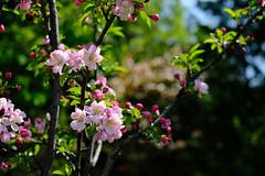 Crabapple (DHaug) Tags: flower tree yard spring blossom bokeh outdoor velvia flowering fujifilm crabapple 2016 sooc bokehlicious xpro2 xf35mmf14r