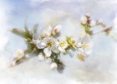 Heavenly (BirgittaSjostedt.) Tags: sky plant flower texture apple beauty paint pattern blossom outdoor pastel may serene ie photoborder
