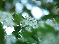 May blossom (Ryuu) Tags: flowers white plant macro green nature leaves closeup spring focus branch dof blossom bokeh stamens cherryblossom sakura hawthorn bloomingtree whiteblossom