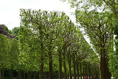 Newly cut and shaped trees - allee at the Parc de Sceaux, Paris (Monceau) Tags: trees france shaped cut traditional tradition sceaux alle parcdesceaux