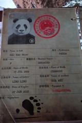 Hao Hao gave birth to a cub at Pairi Daiza! (kuromimi64) Tags: bear zoo europe panda belgium belgique belgi giantpanda     hainaut   cambroncasteau   brugelette  pairidaiza