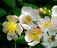 Wild Roses (yantrax) Tags: lighting flowers light roses wild white flower color texture floral colors rose yellow closeup garden licht flickr blossom outdoor sony pflanze bloom blume garten schrfentiefe textur schwarzerhintergrund bltenstempel flowersarefabulous
