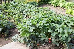 Erdbeerpflanzen (blumenbiene) Tags: plants plant fruits garden strawberry pflanze pflanzen strawberries garten erdbeere erdbeeren frchte fragaria erdbeerpflanze erdbeerpflanzen