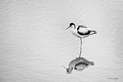 Ruffled (Ali Ly) Tags: sleeping summer bird water nikon day outdoor avocet rspb wader recurvirostraavosetta d810 titchwellmarsh