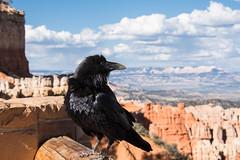 Raven at Bryce Canyon National Park (m01229) Tags: bird utah rocks brycecanyon d7200
