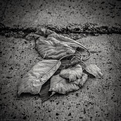 Dead or just dying? (Anthony Plancherel) Tags: park travel blackandwhite stilllife plants texture monochrome canon turkey concrete blackwhite leaf flora pavement path places paving dying footpath category whiteandblack leaved eskisehir travelphotography devay canon1585mm canon70d kanlikavakpark