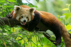 Red Panda (matthias.foto) Tags: park trip light red wild color tree cute green rot art nature beautiful beauty animal animals tongue germany deutschland photography zoo photo europe panda photos sweet bokeh outdoor wildlife portait sony natur grn alpha baum 6000 tier zunge 2015 schn ilce ss mirrorless a6000 fe702004