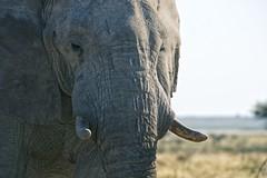 The Bull (alisdair jones) Tags: africa park portrait elephant face namibia tusks etosha ef70200mmf28lisusm2xiii