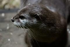 Otter-20160623-41as (Fatcat Al) Tags: en alan district derbyshire centre peak chapel le short frith otter chestnut castleton clawed minnis