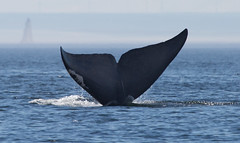 Whale (8 von 19) (karstenniehues) Tags: sea canada st whale lorenz wal whalewatching tadoussac kanada sugetier blauwal finnwal minkwal