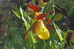 Cypripedium calceolus (luka116) Tags: fleur juin suisse valais orchides 2016 cypripediumcalceolus derborence orchidaces