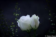 Pure (_Natasa_) Tags: flower white blue green whiterose rose dof depthoffield macro closeup bokeh pure nature art natasaopacic natasaopacicphotography canon canoneos7d canonef100mmf28lmacroisusm
