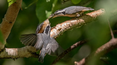 Sitelle  Poitrine Rousse - Red-breasted nuthatch (2016) (boudrod) Tags:  babies poitrine nuthatch rousse redbreasted sitelle