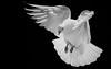 Aterrizando. (jesusgag) Tags: blackandwhite bw byn pigeon pigeons paloma palomas colombe blinkagain ruby10 flickrstruereflection1 flickrstruereflection2 flickrstruereflection3 flickrstruereflection4 flickrstruereflection5 flickrstruereflection6 flickrstruereflection7 flickrstruereflectionexcellence