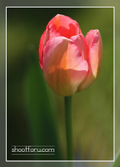 Sunshine upon a tulip (shootforu.com) Tags: pink flowers summer sunlight leaves petals pastel tulip greenlight tones clourshollandshadownature