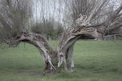 flexibility (glasseyes view) Tags: tree spring meadow willow pasture oldwillow glasseyesview