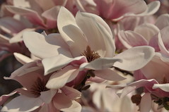 Magnolia (Lake Effect) Tags: pink flower spring indiana bloom magnolia elkhart