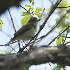 Warbling-Verio-IMG_6133-crop (mandovinnie) Tags: