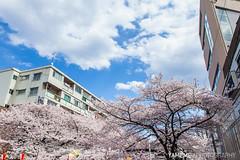 Meguro River / Tokyo, Japan (yameme) Tags: travel flowers nature japan canon eos tokyo explore  sakura shinagawa cherryblossoms    meguro    24105mmlis  5dmarkii 5d2