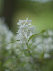 Slender deutzia (Polotaro) Tags: flower nature pen olympus   zuiko ep1   gzuiko50mmf14