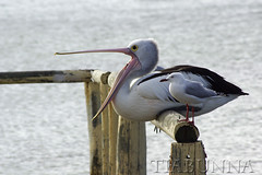 It's all a yawn (tiabunna) Tags: gull south australian australia pelican sa 35 vivitar 70210 series1 silvergull larusnovaehollandiae coffinbay pentaxk10d pelecanusconsspicillatus