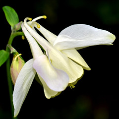 Beauty in the Dark (Eleanor (WHU)) Tags: garden aquilegia beautifulflowers flowerbasket floralfantasy perfectpetals flowersarebeautiful worldofflowers flickrsawesomeblossoms flickrflorescloseupmacros amazingdetails unforgettableflowers addictedtoflowers weallloveflowers beautifulflowergroup flowers4you flowerblossomgroup