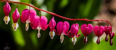 11 bleeding hearts,VanDusen Botanical Gardens , Vancouver (gks18) Tags: pink flower vancouver garden 11 sping vandusen bleedinghearts naturethroughthelens