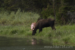"Moose in Kootenai Lakes • <a style=""font-size:0.8em;"" href=""http://www.flickr.com/photos/63501323@N07/7167542050/"" target=""_blank"">View on Flickr</a>"