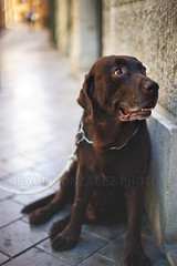 Chocolat dog. (raul gonza|ez) Tags: dog love labrador feel can perro mallorca palma fidelity balears
