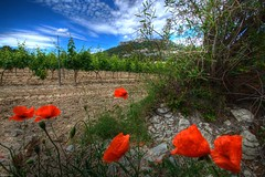 Goodfellas (marcovdz) Tags: flowers france fleurs vineyards poppy poppies provence vignes cassis hdr coquelicots 3xp