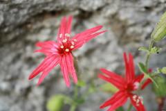 Fire Pink (HikingMomma826) Tags: shawnaturereserve plantsandfungi