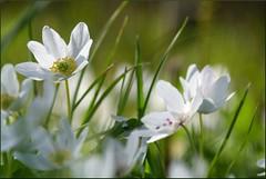 Vitsippor (evisdotter) Tags: flowers white macro nature spring bokeh blommor anemonenemorosa vitsippor sooc