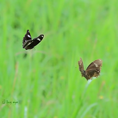~ dancing in the wind ~ (bug eye :) Thailand) Tags: macro nature closeup forest butterfly thailand rainforest chiangmai eggfly