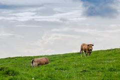 Vacas en el paraiso (agarca) Tags: auto blue sky en cloud verde green grass azul clouds canon eos paradise cows el cielo nubes 28 135 pentacon paraiso f28 vacas hierba 1100d