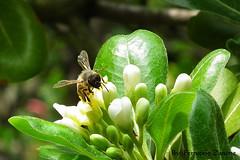 Salviamo le api (Ferruccio Zanone) Tags: flower famiglia bees honey pollen fiori miele api ait pittosporum polline pittosporaceae tobira pitosforo