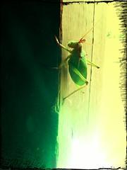 cicada green