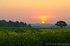 Summer Sunrise (jactoll) Tags: uk morning light summer england tree rural sunrise landscape dawn oak nikon arrow nikkor warwickshire vr 2012 rapeseed alcester warks counteryside 1685mm d7000 ☆thepowerofnow☆ jactoll