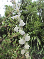 Plantaginaceae, Antirrhinum coulterianum, White Snapdragon Photo