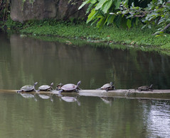 IMG_3327 (jaglazier) Tags: animals june gardens cities taiwan parks turtles taipei daanforestpark ponds urbanism reptiles 2012 daan 6112 copyright2012jamesaglazier