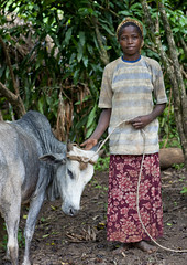 Ari Teenage Girl With A Cow On Leash Omo Valley Ethiopia (Eric Lafforgue) Tags: africa people vertical cattle market picture tribal photograph blackpeople omovalley marketplace ethiopia tribe livestock trade tribo colorphoto nomadic omo 1074 thiopien jinka etiopia teenagegirls onepersononly ethiopie etiopa lookingatcamera  oneteenagegirlonly etiopija ethiopi indigenousculture  etiopien etipia  etiyopya  snnpr southernethiopia 1314years truepeople   exterioroutdoors  omotic   1516years    southernnationsnationalitiesandpeoplesregion blackethnicity teenagegirlsonly araariarariaaribakoaara ethiopianomovalley abyssiniahornofafrica ethio1074