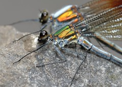 Damselfly couple (Shin-Nagoya) Tags: macro japan closeup bug insect couple  aichi damselfly 200mm shinshiro