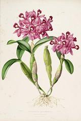 n59_w1150 (BioDivLibrary) Tags: guatemala mexico orchidaceae plants missouribotanicalgardenpeterhravenlibrary bhl:page=769175 dc:identifier=httpbiodiversitylibraryorgpage769175 taxonomy:binomial=guariantheskinneri womeninscience artist:name=augustainneswithers artist:viaf=95819243 augustainneswithers q2870951 illustrator:wikidata=q2870951 hernaturalhistory