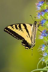 tiger swallowtail butterfly (Eric 5D Mark III) Tags: california park portrait usa flower color macro butterfly bug insect photography unitedstates bokeh sony flash telephoto orangecounty alpha huntingtonbeach shallowdof ericlo huntingtonbeachcentralpark tigerswallowtailbutterfly huntingtonbeachpubliclibrary hvlf58am sal70400g 70400mmf456gssm nex7 laea2