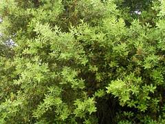 Stein-Eiche an der Küste bei Betlem, Mallorca, NGIDn1847342775 (naturgucker.de) Tags: quercusilex steineiche naturguckerde cwolfgangkatz 1038097865 409271081 551652051 ngidn1847342775